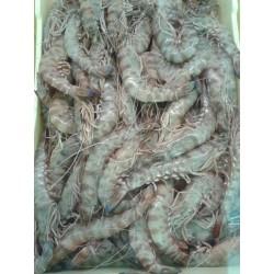 Mazzancolle pescate mar Adriatico
